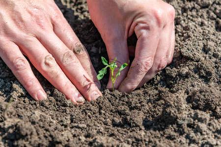 Een vrouw plant tomatenzaailingen en gebruikt haar handen om de grond aan te stampen voor een betere beworteling van de spruiten.