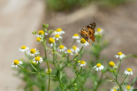 A colorful butterfly sits on a daisy, wildflowers and insects.