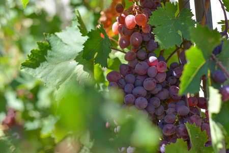 Red grapes on plantations in the winery. Growing vineyards for the manufacture of various varieties of wine.