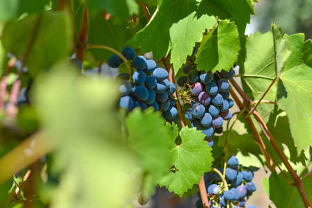Blue grapes on plantations in the wine industry and the agricultural industry. Growing wine grapes.