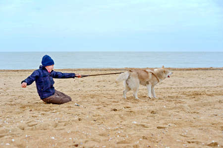 Husky dog pulls the boy by the belt and runs away from him, dragging the child along the sand on the seashore.