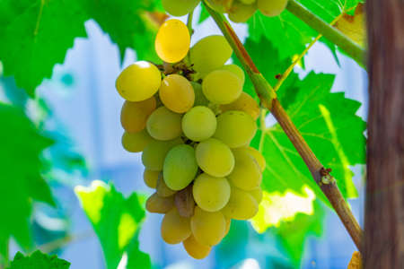 Fragrant and juicy grapes on the vine on a grape plantation. Stok Fotoğraf