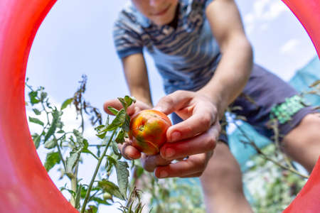Picking a tomato at a home farm, a man lays a ripped tomato in a bucket.
