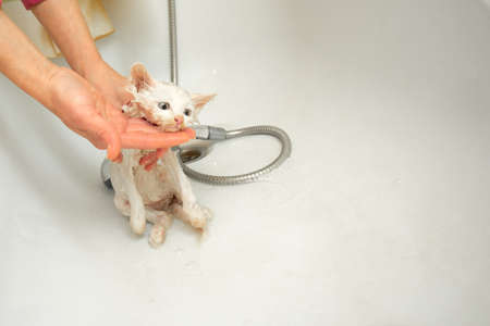 A woman bathes a white cat in a bathtub underwater. Cleanliness and hygiene of pets.