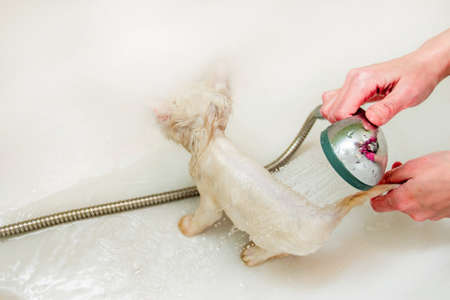 A woman bathes a white cat in a bathtub underwater. Cleanliness and hygiene of pets. Reklamní fotografie - 131581134