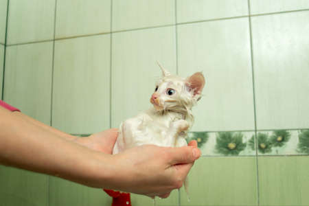 A small white wet kitten sits in the hands of the mistress, after bathing and taking a shower. Cleanliness and hygiene of pets. Reklamní fotografie