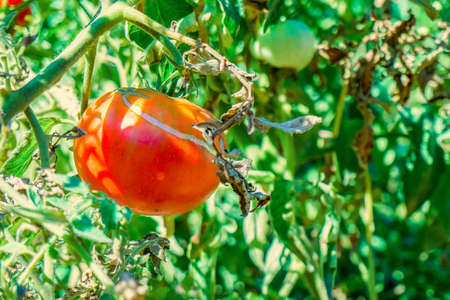 Red tomato grown in a garden hanging on a green branch.