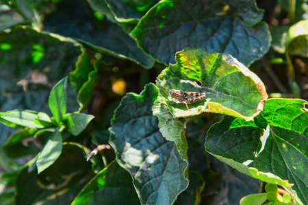 Gray grasshopper on a green leaf. Stock fotó