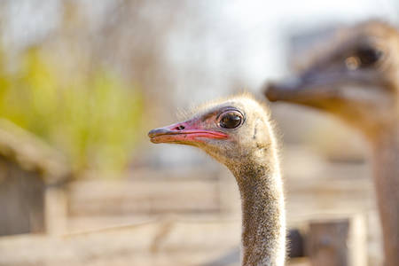 Ostrich head on a long neck, closeup side view. Reklamní fotografie