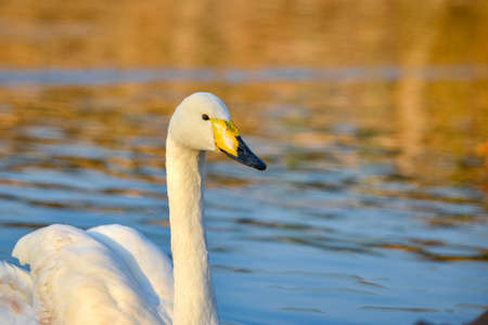 A white swan with a yellow beak swims on the lake.