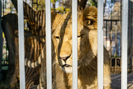 Sad and dreary lioness in a zoo cage. 写真素材