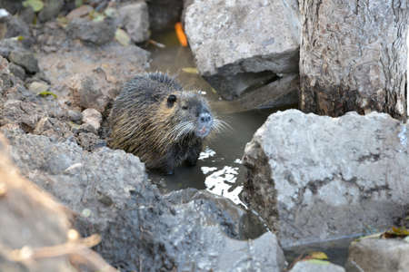 A nutria sits in water among stones, close up Stock Photo