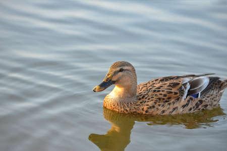 Enten schwimmen in einem Teich in einem Teich, tauchen in einem Park unter Wasser Standard-Bild