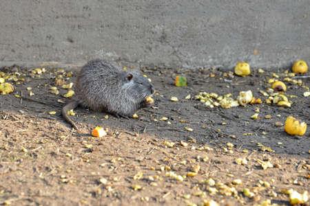 Nutria at the zoo eating food lying on the ground