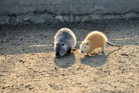 Two nutria crawl on the ground in search of food Stock Photo