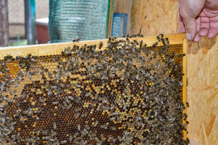 The beekeeper examines the frames with honeycombs and bees in the apiary. Imagens