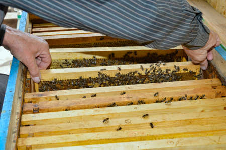 The beekeeper inserts frames with honeycombs and bees into the hive in the apiary.