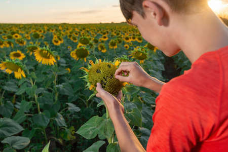 The boy makes an angry face on a sunflower field of sunflowers. Foto de archivo