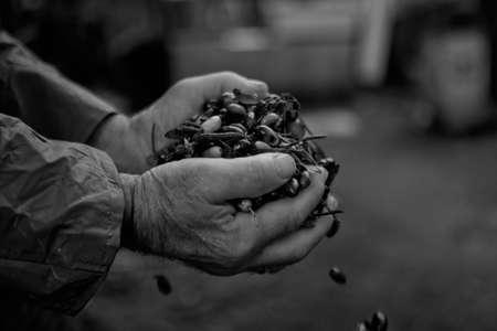 Olives Harvest photo