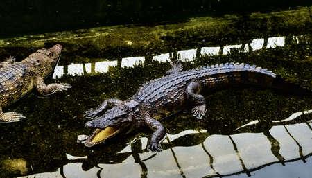 Crocodiles in the zoo