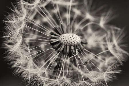 White dandelion Stockfoto