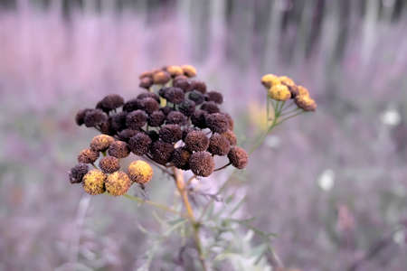 The flowers of tansy