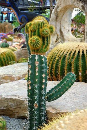 Cacti in the garden Reklamní fotografie