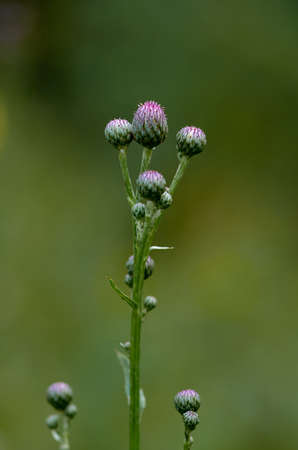 Bud of a thistle Stockfoto