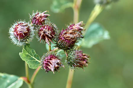 The buds of burdock