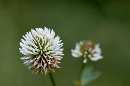 wild flower grass, clover
