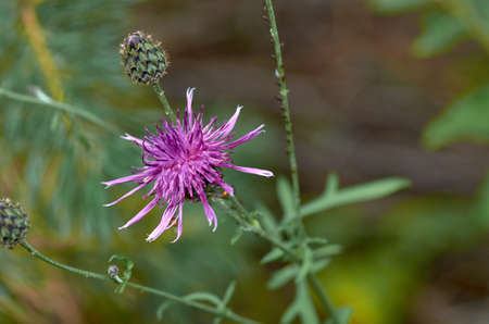 Thistle flower and bud Stockfoto