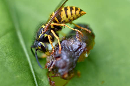 Wasp on a leaf Stockfoto