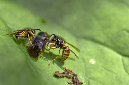 Two wasps at lunch