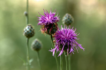 Flower and buds of a Thistle