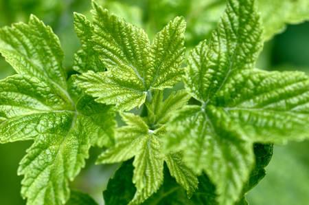 green raspberry leaves Reklamní fotografie