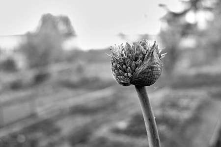 onion flower Zdjęcie Seryjne
