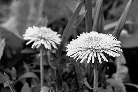 dandelion in black and white image