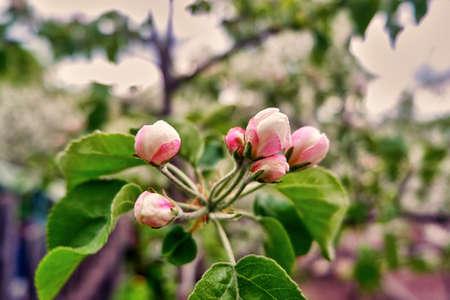 Spring flowers of apple trees
