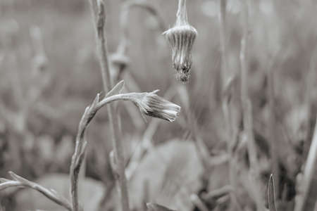 The buds of dandelions in monochrome