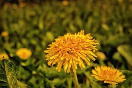 yellow dandelions in the garden