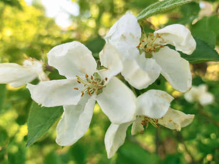 white apple blossoms