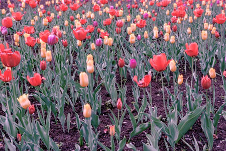 tulip, spring, tulips, flower, flowers, field, garden, red, nature, yellow, green, floral, plant, colorful, beautiful, blossom, bloom, color, flora, pink, orange, bright, park, petal, beauty