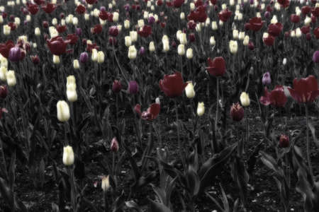 tulip, flower, tulips, field, spring, red, flowers, garden, nature, green, plant, colorful, agriculture, bloom, beauty, beautiful, floral, yellow, color, pink, summer, park, purple, blossom, landscape