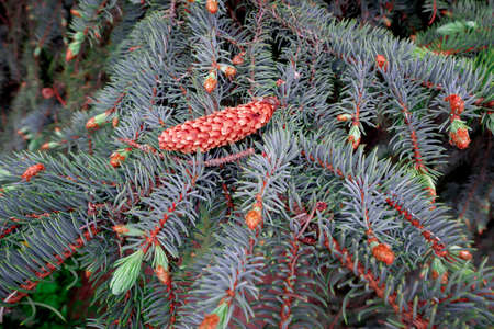 tree, pine, spruce, nature, branch, green, spruce, Christmas, blue, plant, cone, needle, forest, evergreen, winter, needles, red, coniferous, season, close-up, branches, spruce, holiday, coniferous tr