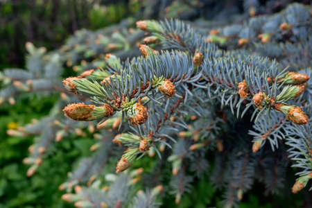 tree, pine, branch, green, nature, spruce, fir, evergreen, plant, forest, needle, coniferous, blue, needles, spring, coniferous tree, branch, season, branches, outdoor, close-up, trees, blue spruce