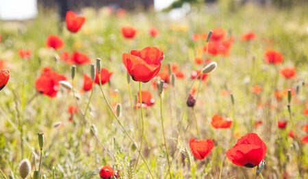Red poppies during spring. Poppy field