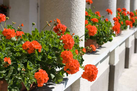 berm: Lots of red geranium flowers on an old house balcony. Stock Photo