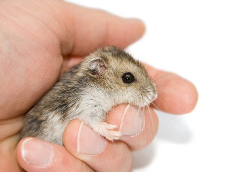 A cute hamster sitting on a palm. Stock Photo