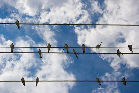 Lots of swallows resting on electrical wirings from beneath. Banque d'images