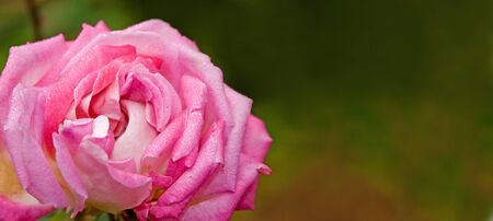 watered: A watered pink rose with wide background useful for texts.